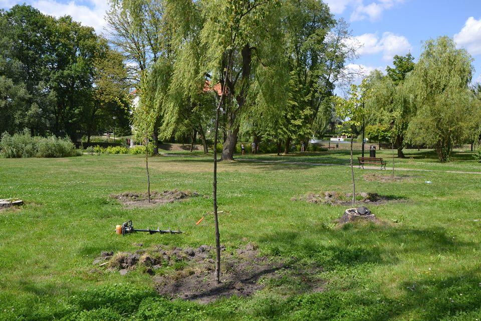 Nowe drzewa w szydłowieckim Parku Radziwiłłowskim